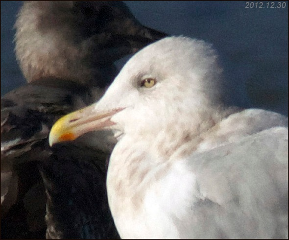Rog's gull head 2012.12.30 6513