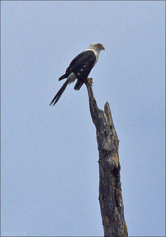 Falcon White-rumped 2013.03.19 8806