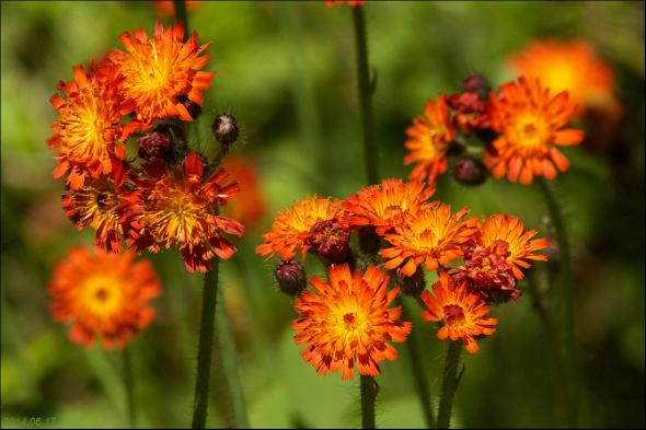 Hawkweed Orange 2014.06.17 9071