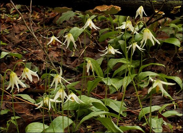 Erythronium oregonum patch 2015.03.30 2047