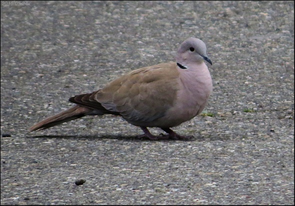 Collared-Dove Eura 2015.05.24 x4162
