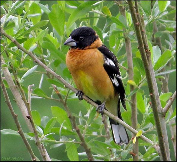 Grosbeak Black-head crop 2015.05.,23 x4050