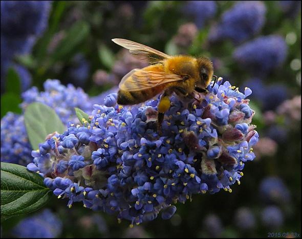 Honeybee, Cyanothus 2015.05.23 x4093