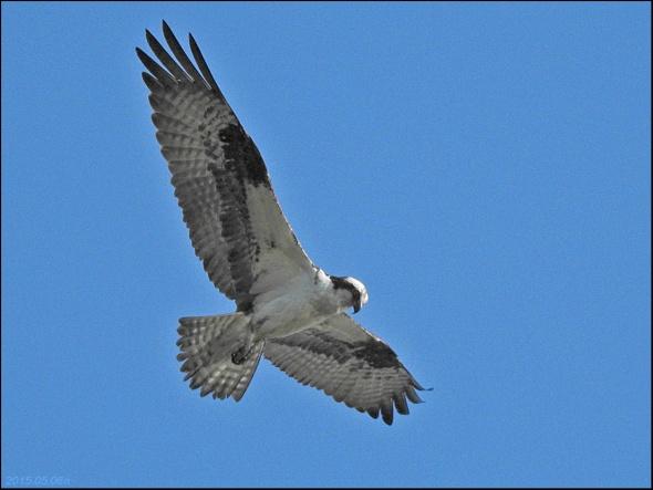 Osprey 2015.05.06 n0654