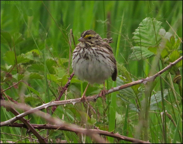 Sparrow Savannah 2015.05.24 x4204